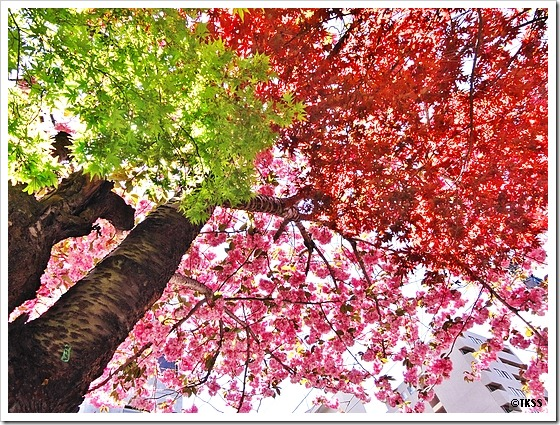 八重桜と楓
