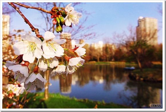 中島公園の千島桜
