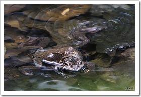 西岡公園のカエル