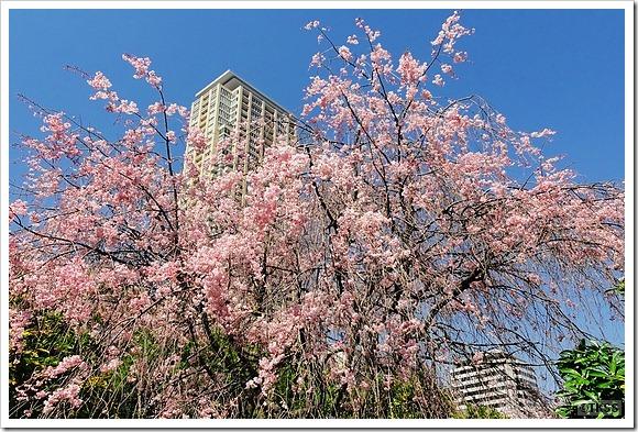 青山公園の枝垂れ桜