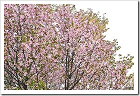 寒地土木研究所の千島桜