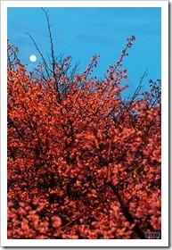 寒地土木研究所の千島桜とスーパームーン