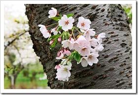 戸田記念墓地公園の桜 2011
