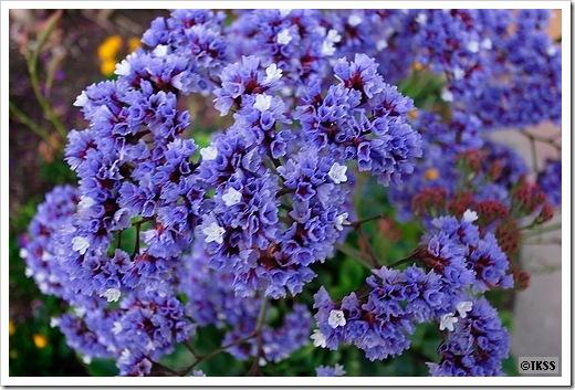 アメリカで見かけた花 その3