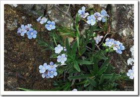 アポイ岳の花