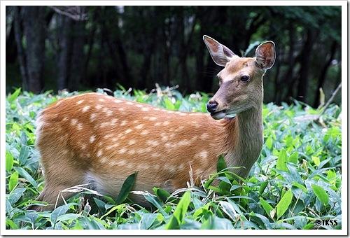 アポイ岳の鹿