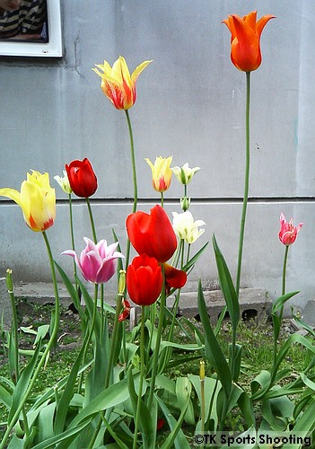 日陰に咲いたチューリップ