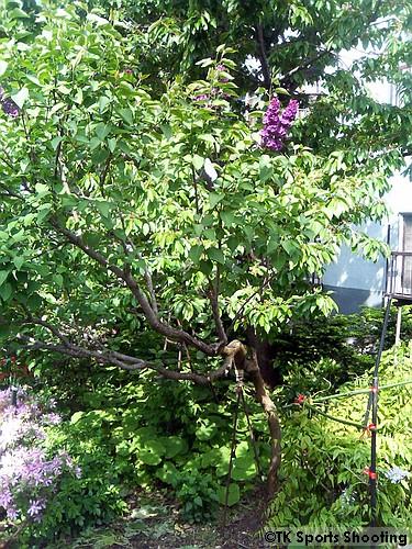 ライラックの木