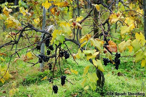 ばんけい峠のワイナリー 葡萄畑
