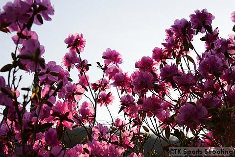 エゾムラサキツツジ(蝦夷紫躑躅)