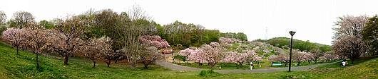 平岡公園梅林 パノラマ