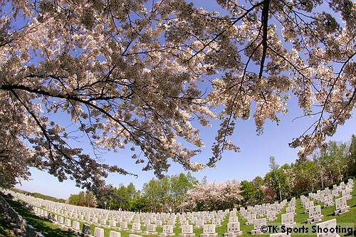 戸田記念墓地公園のソメイヨシノ