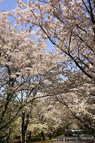 戸田記念墓地公園のソメイヨシノのトンネル