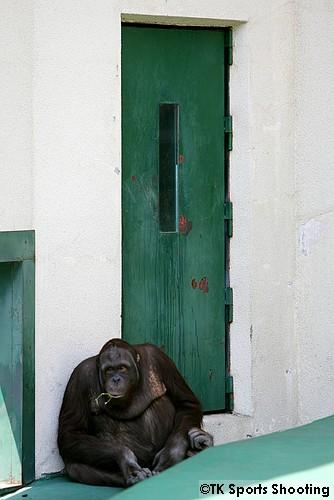 円山動物園のオランウータン 弟路郎