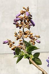 桐の花と実