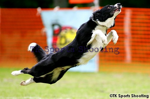 Club-DDS ACANA CUP Disc Dog Game CHAMPIONSHIP2006 2nd Stage