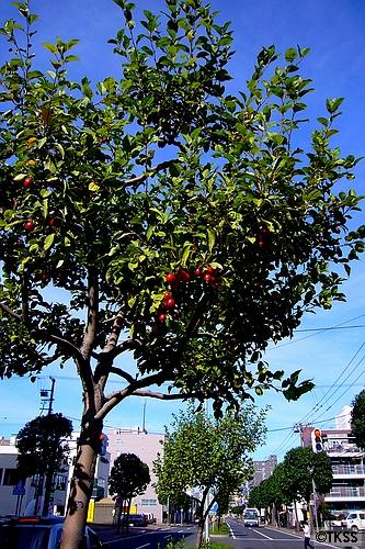平岸街道の姫りんご