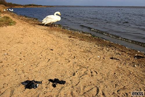ウトナイ湖の白鳥のウンコ
