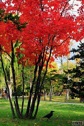 紅葉とカラス