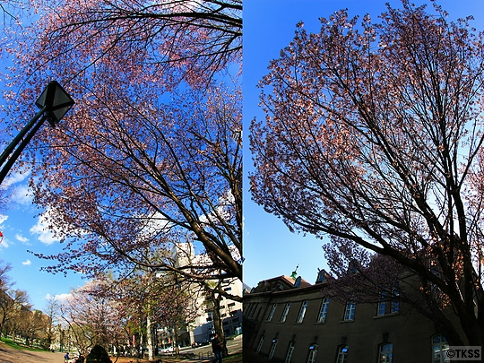 大通公園の桜