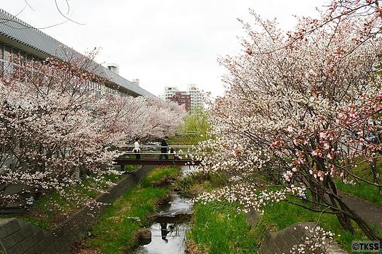 寒地土木研究所の千島桜並木