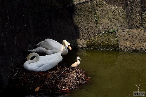 皇居の白鳥親子
