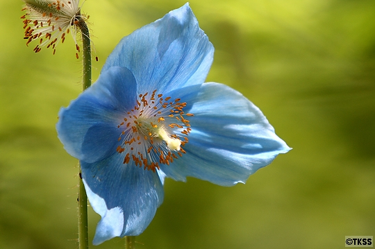 メコノプシス(ヒマラヤの青いケシ)