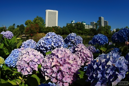 中島公園の紫陽花