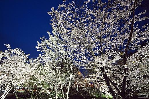 独立行政法人土木研究所寒地土木研究所の千島桜