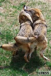 モンゴルオオカミ