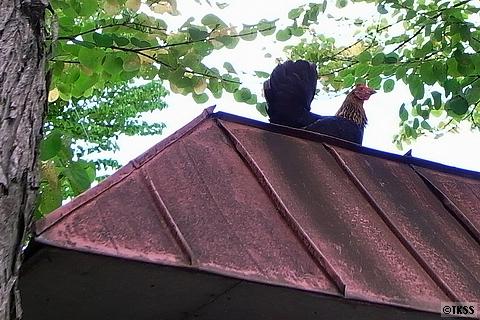 屋根の上のチャボ