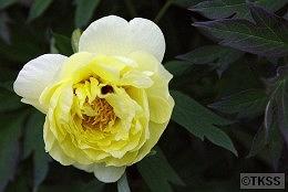 手宮緑化植物園の牡丹