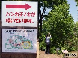 ハンカチノキ 百合が原公園