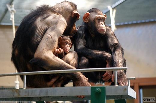 チンパンジー館